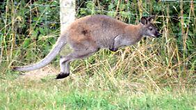 Das ist nicht das aktuell frei herumhüpfende Känguru. Von ihm gibt es kein Foto. Das hier ist Skippy. Skippy hielt im Sommer 2015 die Polizei auf Trapp.