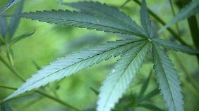 Bund plant Cannabis-Agenturen: Marihuana ist in den USA ein Milliardengeschäft