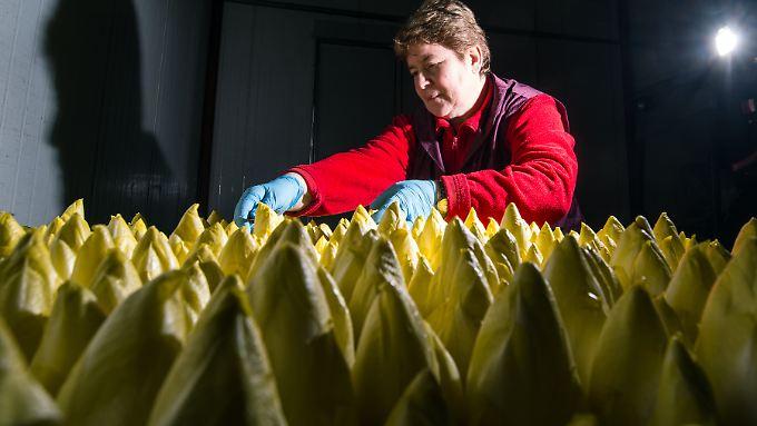 Im Landgut Pretschen (Brandenburg) wird der Reifegrad von Chicorée geprüft. Chicorée ist das erste und auch letzte Gemüse im Jahr, welches frisch geerntet werden kann.