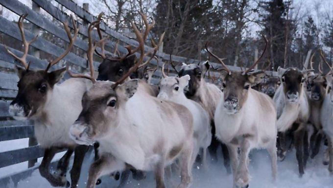 Tschernobyl ist noch lange nicht vorbei. Im norwegischen Snasa werden die Rentiere in Gehege gesperrt, weil die Waldpilze kontaminiert sind.