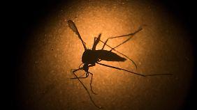 Tigermücken gehören zu den Überträgern des gefährlichen Virus.