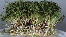 Anspruchslos, aber lecker und gesund: Gartenkresse braucht nicht viel zum Wachsen.