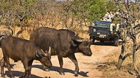 Mit dem Auto kommt man ganz nah an die wilden Tiere heran, aber die Menschen müssen immer vorsichtig sein.
