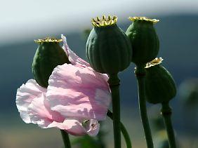 Schöne Pflanze mit berauschender Wirkung: Die Bundesregierung bemüht sich, den Anbau von Schlafmohn einzudämmen.