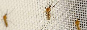 Gefährliche Krankheit: Können Mücken Borrelien übertragen?