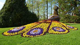 Die Gärtner der Insel Mainau geben sich alle Mühe, den Besuchern die Blumen in ihrer ganzen Pracht zu zeigen.