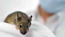 Der Maus hilft es - das heißt aber noch nicht, dass es auch beim Menschen funktioniert.