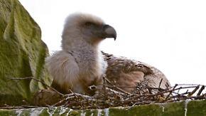 Wie der Zufall so will: Schwule Geier im Tierpark Nordhorn brüten Ei aus