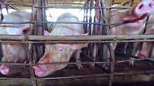 Grausamkeiten auf Augenhöhe: So erbärmlich ist ein Schweineleben