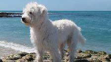 Labradoodle, Pomsky und Co.: Voll im Trend: Designerhunde