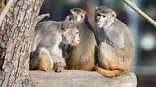 Mütter schlagen und beißen: Affensöhne werden schlechter behandelt