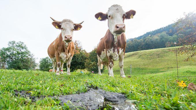 In den Dungfladen antbiotikabehandelter Kühe wurde fast die doppelte Menge Methan freigesetzt.