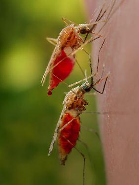Blutsauger Anopheles gambiae: Mücken, die Malaria-Überträger sind.