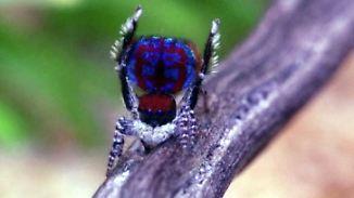 Schöne Spinnen: Niedliche Krabbler sollen Arachnophobie heilen