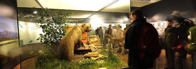 Ändern kann sich das aber jederzeit. Eine Sprecherin des bayerischen Landesamts für Naturschutz verweist darauf, dass von den wie einst Bruno im italienischen Trentino lebenden 60 Bären immer wieder einzelne abwandern.