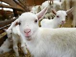 Virusinfizierte Ziegenmilch: Zwei Menschen erkranken an FSME