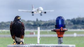 Gefiederte Flugbereitschaft: Bussard Sally beschützt Flugzeuge am Hamburger Flughafen