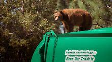 Seltener Gast auf Müllwagen: Bär nimmt Mitfahrgelegenheit