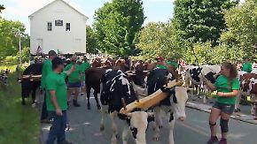 Kaum zu glauben, aber wahr: Rinder ziehen alte Schule an Erbauungsort zurück