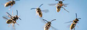 Hobbygärtner überlebt Angriff nicht: Wespen stechen Mann zu Tode