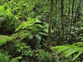 Regenwald in Queensland, Australien.