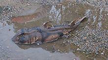 Der Port-Jackson-Stierkopfhai wurde in dieser Pfütze gefunden.