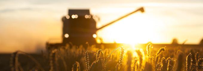 Hohes Angebot auf dem Weltmarkt: Weizen so billig wie seit zehn Jahren nicht