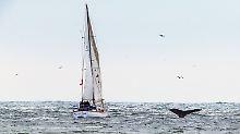 Wal vs. Segelboot: Spektakuläre Kollision auf der Ostsee