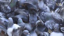 Tauben stellen für Menschen eine konkrete Gesundheitsgefährdung dar.