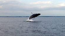 Ungewöhnlicher Gast im Bereich der Sonderburger Bucht bei Flensburg: ein Buckelwal.