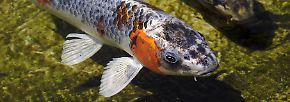 Koi-Karpfen werden zwar im Durchschnitt nur rund 60 Jahre alt - doch der Rekord liegt weit höher und beschert den Fischen Rang Nummer sechs.