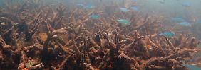 Sorge ums Great Barrier Reef: Korallenbleiche so schlimm wie noch nie