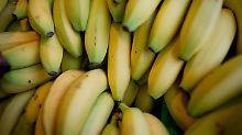 Pilz bedroht beliebte Frucht: Bananen vor dem Aussterben