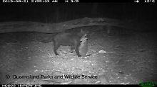 Streuner rotten heimische Arten aus: Katzen sind in Australien eine Plage