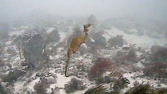 In mehr als 50 Meter Tiefe vor Australien: Forscher filmen erstmals lebende Rote Seedrachen