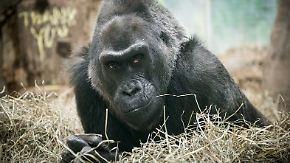 Trauer im Zoo von Columbus: Ältester Gorilla der Welt ist tot