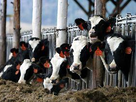 Auf herkömmlichem Weg gezüchtete Rinder in den USA.