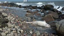 Tote Wale in der Kieler Bucht: Delfin tötet mehrere Schweinswale