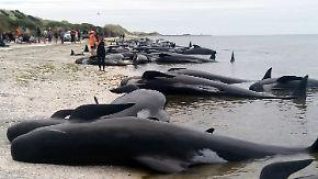 Tragisches Massensterben: 300 Grindwale verenden an der Küste Neuseelands