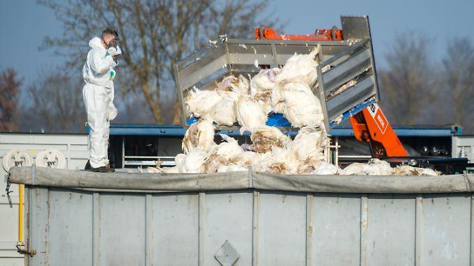 Nach dem Ausbruch der Geflügelpest auf einem bayerischen Hof wurden tausende Puten getötet.