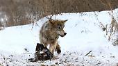 Die Zahl der Wölfe ist hier sieben Mal höher als in nicht radioaktiv-kontaminierten Regionen.