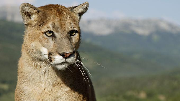 In ihrem Bewegungsraum eingeschränkt: Pumas an der mexikanischen Grenze.
