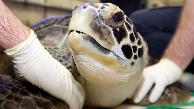 Die Suppenschildkröte ist in Madagaskar vom Aussterben bedroht.