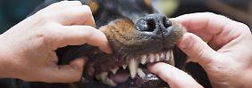 Dackel, Pitbull, Rottweiler: Wann gilt ein Hund als gefährlich?