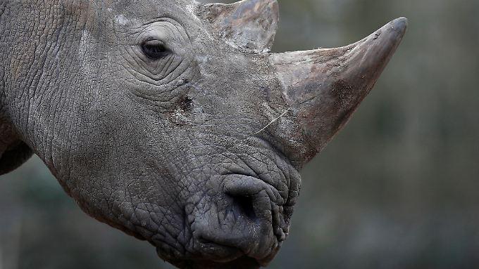 Elfenbeinraub in Frankreich: Wilderer töten Nashorn im Zoo