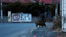 Durch die Straßen streifen Wildschweine auf der Suche nach Futter.
