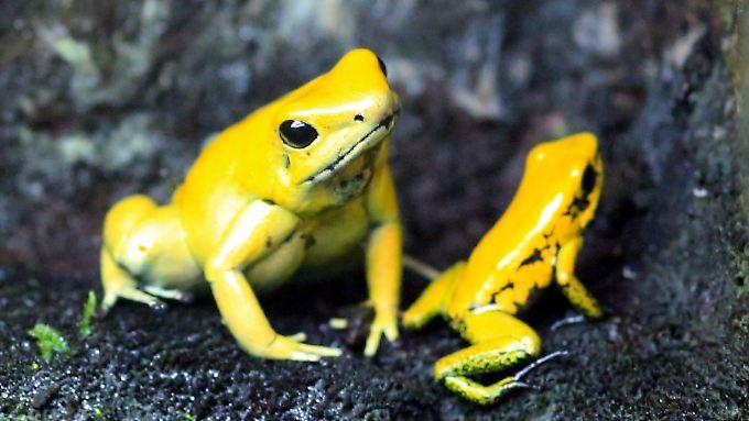 Phyllobates terribilis ist an der Grenze zu Panama beheimatet.