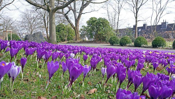 Auch wenn die Krokusse schon prächtig blühen: Wettertechnisch lässt der Frühling weiter auf sich warten.