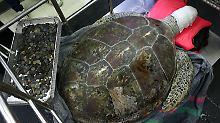 Hunderte Münzen rausoperiert: Schildkröte überlebt Eingriff nicht