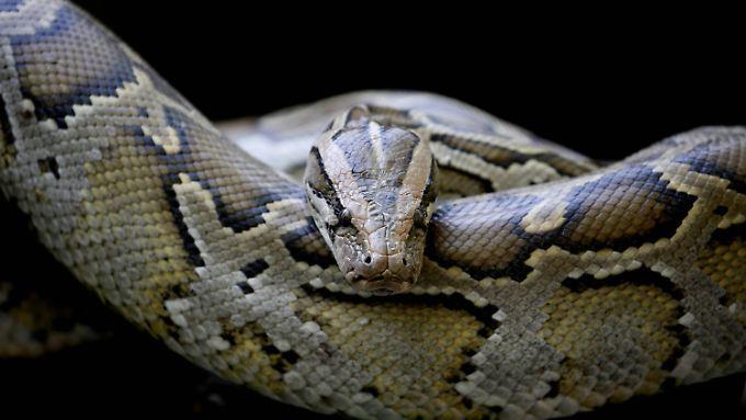 Die Python-Schlange tötet ihre Opfer nicht mit Gift, sondern erwürgt sie.